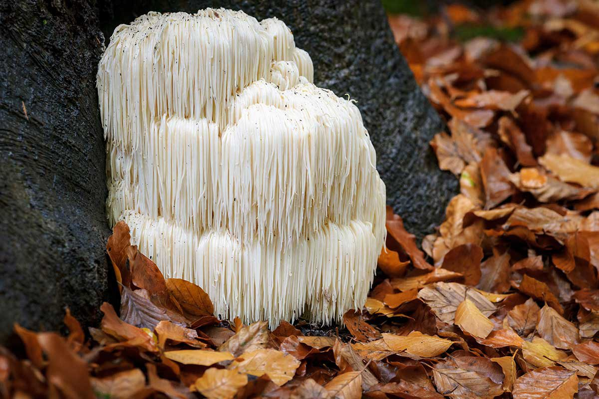 Lion's-Mane-Mushroom-is-a-Medical-Powerhouse